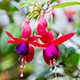 16 fuchsia plants £9 all-in